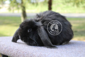 Bébés lapins Bélier Français! (deviendront TRÈS GROS)