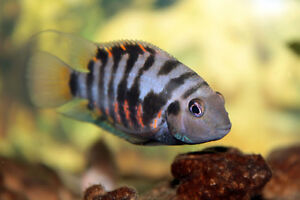 Convict Cichlids For Sale London Ontario image 1