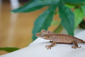 Baby Crested geckos for sale!!
