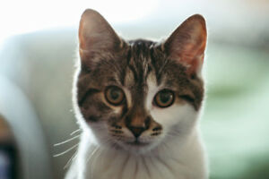 Grey and white female tabby - 5 months old - vaccinated (indoor)