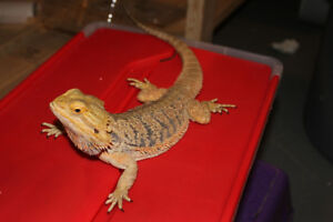 Male Bearded Dragon//2 Years Old