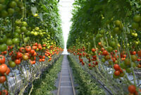 Greenhouse Labour Positions Available