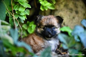 Very friendly Pomeranian Chihuahua puppies