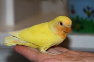 Hand-fed Orange face Lutino baby lovebird wants a new home