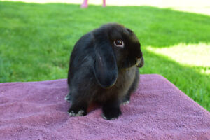 Adorable Purebred Holland Lop Bunny for sale