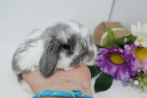 Bébés lapins béliers hollandais - Les Petits Lapins d'Amour