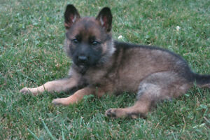 Gorgeous Purebred German Shepherd Puppies Ready to be Rehomed