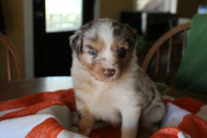 "Australian Shepherd ""Aussie"" Puppies for Sale"