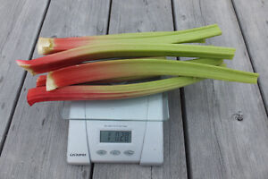 Fresh Rhubarb Stalks and Plants