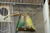 yellow female and green yellow face male love birds