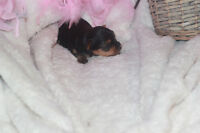 "Yorkie Puppies ""1 male , 1 female:"
