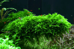 Christmas Moss, Painted Fire Red Shrimp and Yellow Shrimp