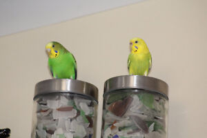 Looking for a Good Home for Two Budgies