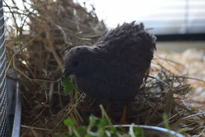 Button quail hen for lonely rooster
