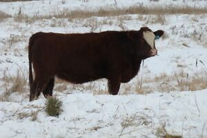 Bred heifers selling on Dec. 9th/16 at Whitewood Auction Regina Regina Area image 5