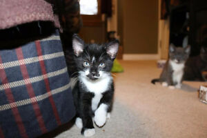 Beautiful Black n' White Kitty, Bandit, for Adoption with KLAWS