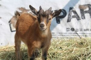 Two Adorable Nigerian/Pygmy Goat Kids for Sale!