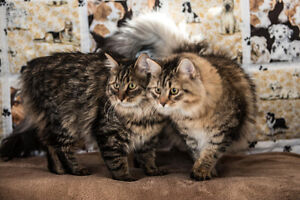 Olivia Traditionnal Siberian Cattery