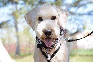 goldendoodle F1 ...1 year old