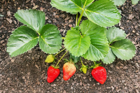 Organic Strawberry Plants 🍓🌱 Delivery Available