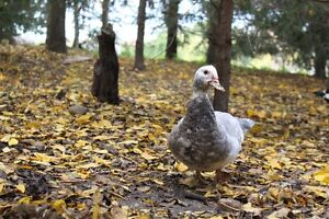 Gorgeous,Young, Female Muscovy Ducks Kitchener / Waterloo Kitchener Area image 4