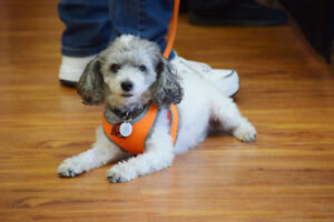 **Sweet Ollie - POODLE cross is available for adoption***