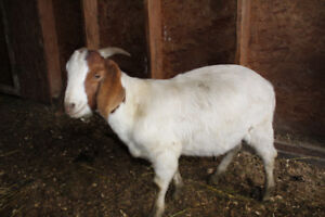 Purebred Boer Goat Buckling
