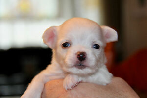 Male Registered Purebred Long Coat Chihuahua Puppies