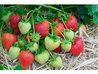 SWEETHEART Strawberries