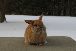 Holland Lop Bunnies Looking for Pet Homes
