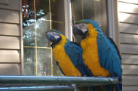 2 Blue & Gold MaCaw's. $1000 each