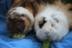 Free to a Good Home -Guinea Pigs-Bonded Brothers