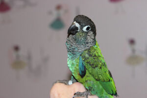Adorable Conures - Young & Hand Tamed