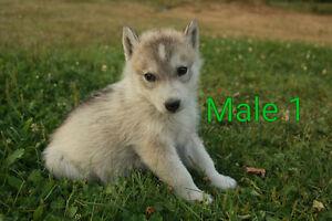 Siberian Husky puppies *Ready to Go*