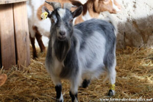 bouc chevre male miniature animaux animal