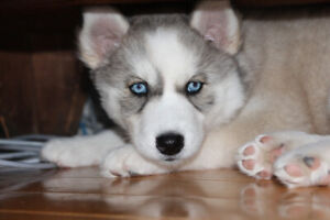 ONLY 1 purebred Siberian Husky puppies left