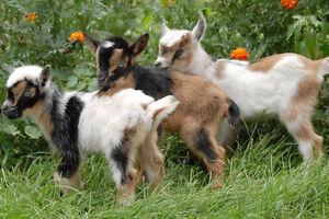 Recherche chèvre pygmée ou nigérien