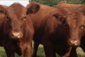 Red Angus Heifers