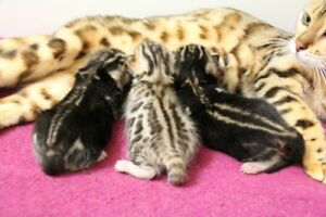 bengal brow marble and spotted kittens