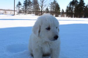 GREAT WHITE PYRENEES PUREBRED / ALL THE PUPPY'S WERE ADOPTED London Ontario image 9