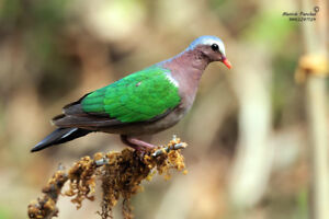 Selling my pair of emerald dove
