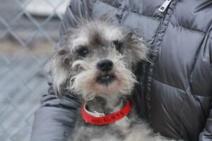 ADOPT-A LITTLE SCHNAUZER BOY * FULLY VETTED RESCUE TRANSPORT