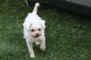 LOST - PERDU  Small White Dog