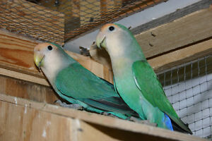 bonded male and female lovebirds proven sex