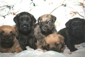 Brussels Griffon cross puppies