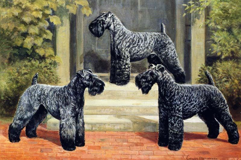 Kerry Blue Terrier Dog 1930
