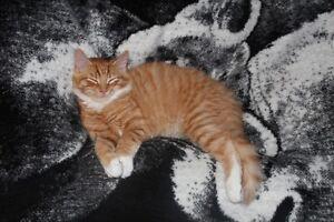 Orange White Tabby Cat - TIGER - LOST - PLEASE HELP
