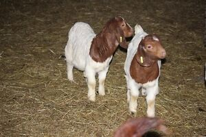 Boer Buck kid goat