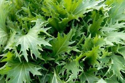 Mustard Seed Heirloom Non-GMO  MIZUNA 4000 SEEDS Asian Greens VIGOROUS Vegetable