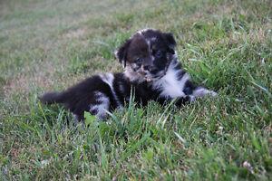 Ckc, ASCA REG'd australian shepherd pups
